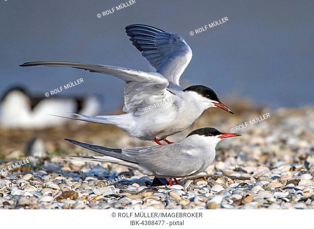 Common terns (Sterna hirundo) mating, Texel, West Frisian Islands, Netherlands