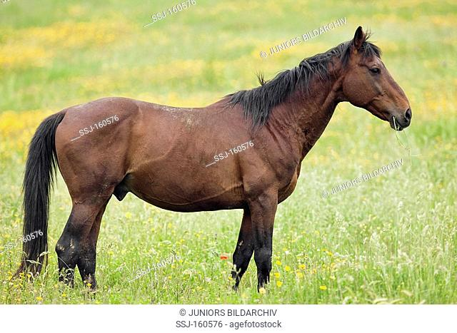 Tolfetano horse - standing on meadow