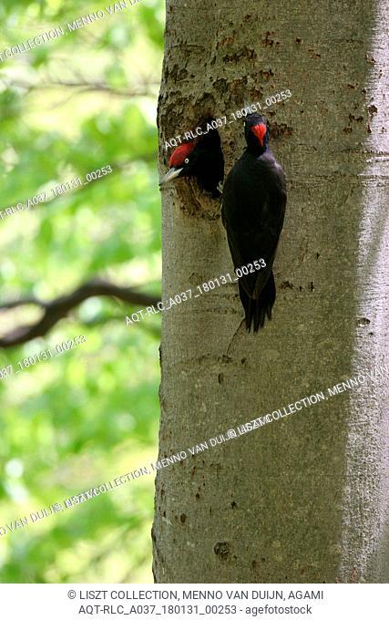 Black Woodpecker a pair at nest hole Poland, Black Woodpecker, Dryocopus martius