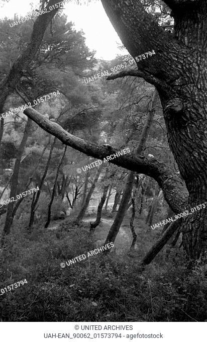 Griechenland, Greece - In einem kleinen Wald mit mächtigen alten Bäumen in Griechenland, 1950er Jahre. A forest with old mighty trees in Greece, 1950s