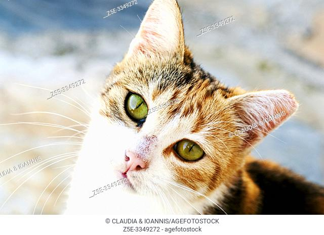 High angle view of a young calico cat looking up at camera