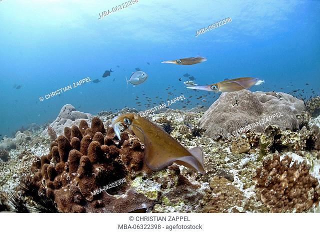 bigfin reef squid Sepioteuthis lessoniana, Gulf of Oman, Oman, Asia