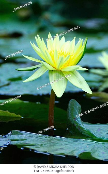 Mexican Water lily Nymphaea mexicana in pond, Germany