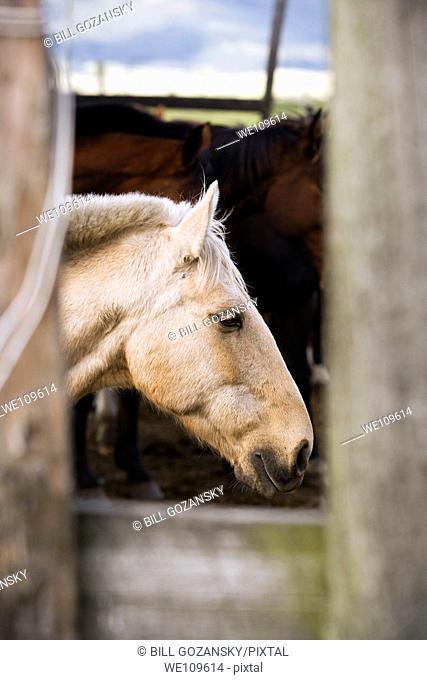 White horse portrait through fence - Hacienda El Porvenir - Cotopaxi, Ecuador