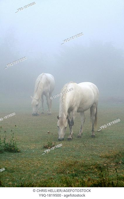 White Camargue Horses in Morning Mist Camargue Provence France