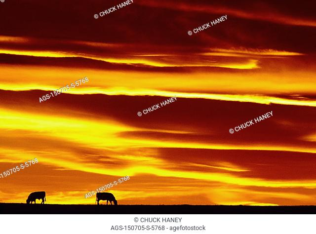 Livestock - Beef cattle grazing on a pasture silhouetted by the sunset / MT - Choteau