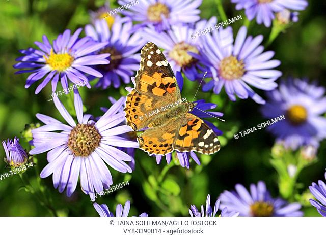 Painted Lady butterfly, Vanessa cardui, feeding on New York Asters, Symphyotrichum novi-belgii on a day of autumn in Finland. Shallow dof