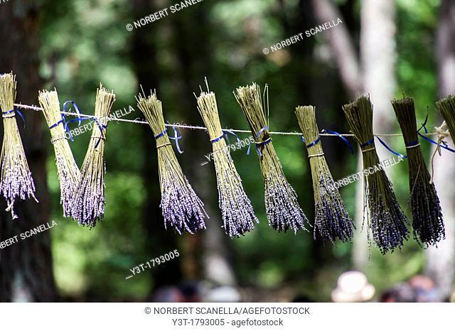 Europe, France, Vaucluse, Pays de Sault  Lavender festival  Ballotion of lavender