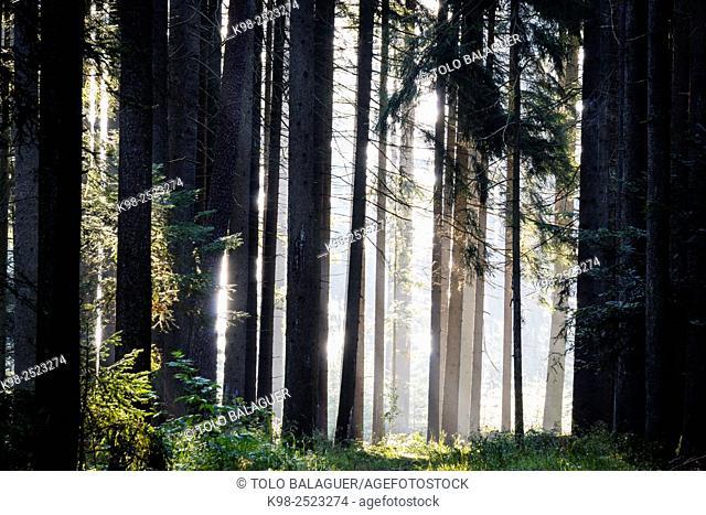 interior de un bosque de abetos, Abies alba, Baden-Wurtemberg, distrito de Selva Negra-, Alemania, Europe