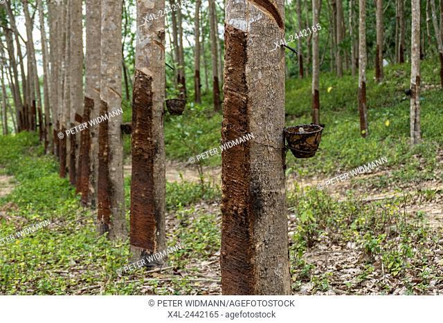 Rubber tree latex production, Krabi, Thailand, Asia