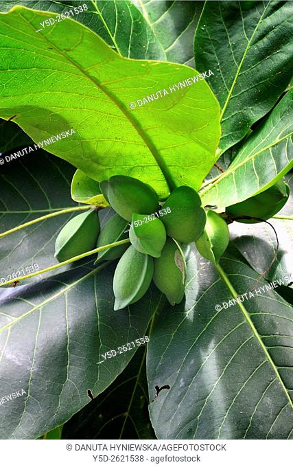 Terminalia catappa, Bengal almond tree, Africa, Mascarene, Mascarene Islands, Mascarenhas, Mauritius, Southeastern coast of Mauritius, Grand Port District