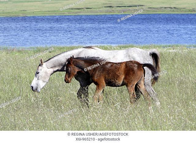 Arabic horses, mare with foal on meadow, Alentejo, Portugal
