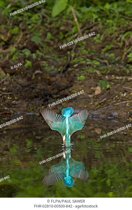 Common Kingfisher Alcedo atthis adult, in flight, diving into water with reflection, Suffolk, England, may