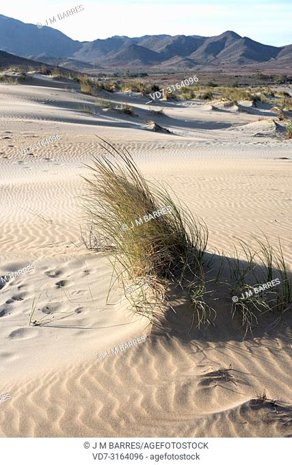 European beachgrass or European marram grass (Ammophila arenaria) is a perennial herb native to coastlines of Europe and north Africa