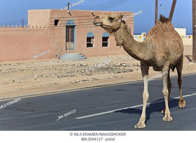 Dromedary (Camelus dromedarius) on a road, Quirat, Masqat, Oman