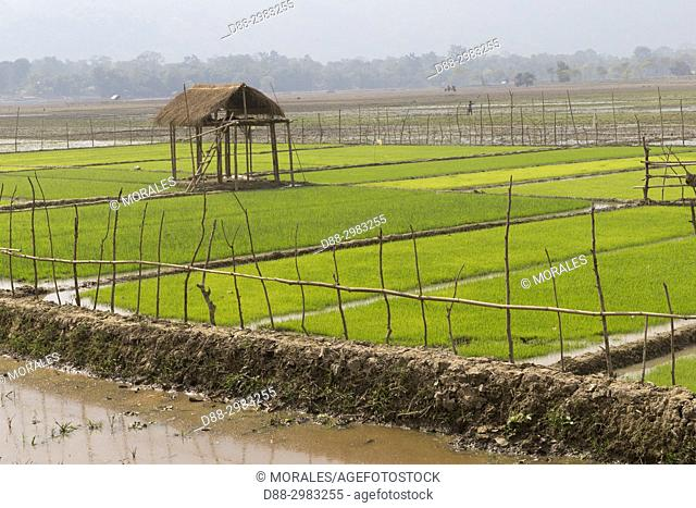India, State of Assam, entrance of the Kaziranga National Park, nurseries of rice plants