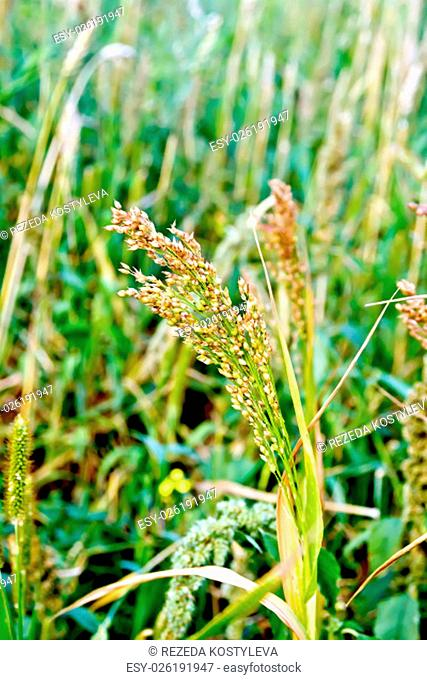Paniculata ear of millet in the field on a background of stalks and ears of corn