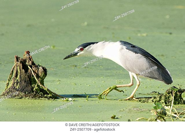 Black-crowned Night Heron prowling for crawfish, Brazos Bend State Park, Texas, USA