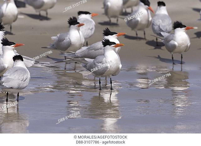 Central America, Mexico, Baja California Sur, Puerto San Carlos, Magdalena Bay (Madelaine Bay), . Royal tern (Thalasseus maximus), group on the beach