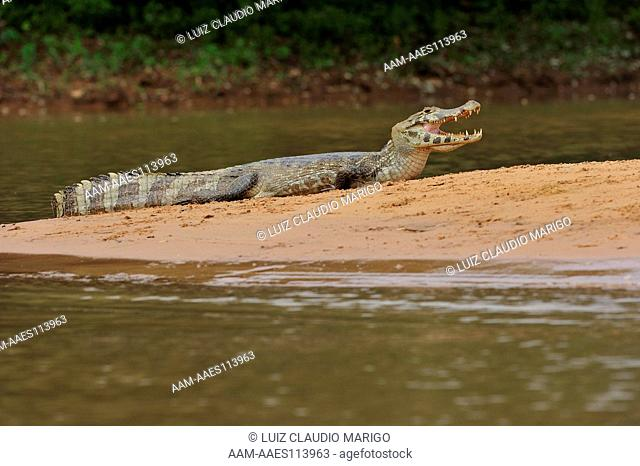 Spectacled Caiman (Caiman yacare) in the Pantanal of Mato Grosso State, Center-West of Brazil