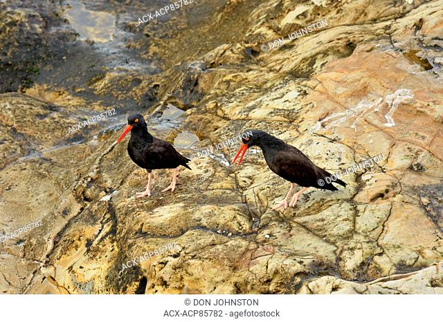 Black oystercatcher (Haematopus bachmani) Mated pair, Pismo Beach, California, USA