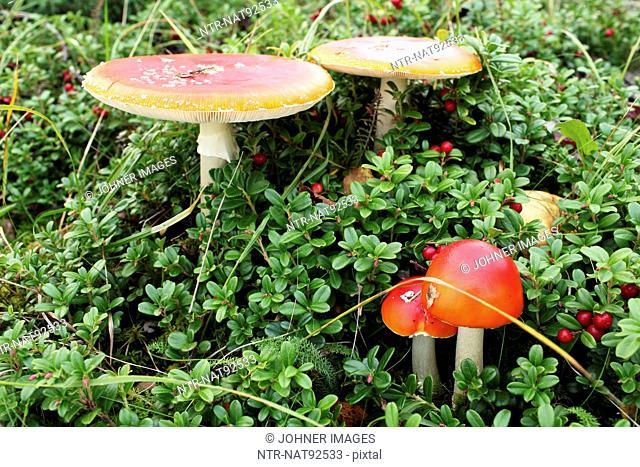 Amanita mushrooms and lingonberries