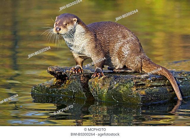 European river otter, European Otter, Eurasian Otter (Lutra lutra), sitting on wooden board in water, Germany, Lower Saxony, Lueneburger Heide