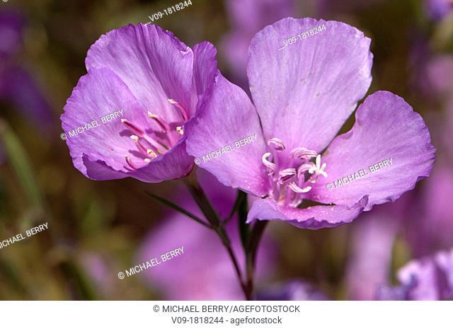 Farewell to Spring (Clarkia amoena), Oregon, USA