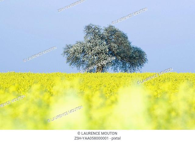 Field of canola with tree in blossom
