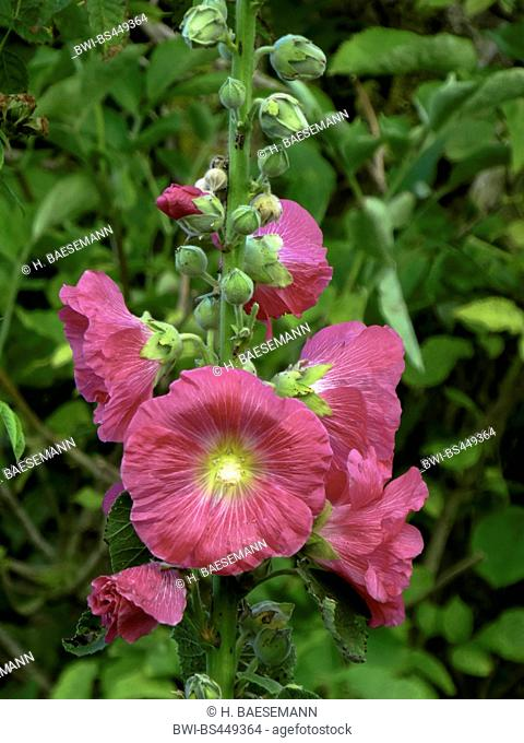 holly hock, hollyhock (Alcea rosea, Althaea rosea), fowers, Germany, Schleswig-Holstein, Heligoland