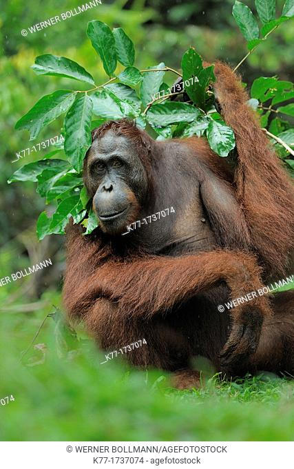 Orang Utan, using a leaved branch as umbrella Pongo pygmaeus, Tanjung Puting National Park, Province Kalimantan, Borneo, Indonesia