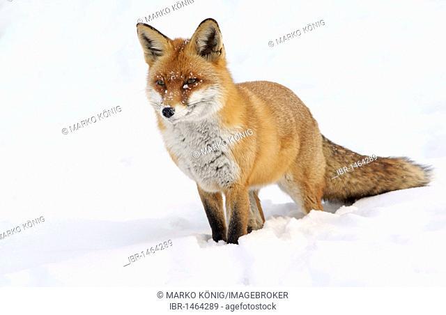 Red fox (Vulpes vulpes) in snow