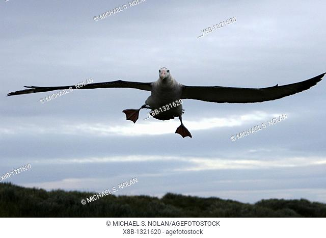 Adult wandering albatross Diomedea exulans taking off or landing on Prion Island, which lies in the Bay of Isles towards the west end of South Georgia Island in...