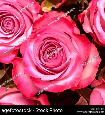 Beautiful pink rose close up