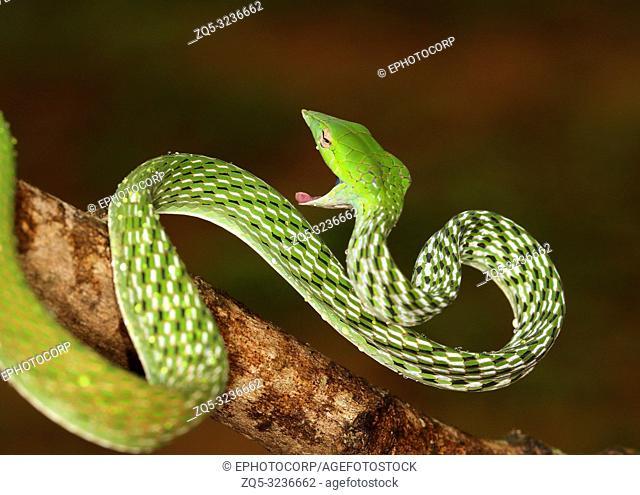 Green Vine Snake, Ahaetulla nasuta Agumbe, Karnataka, India