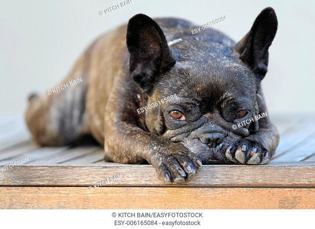 A close up shot of a french bulldog