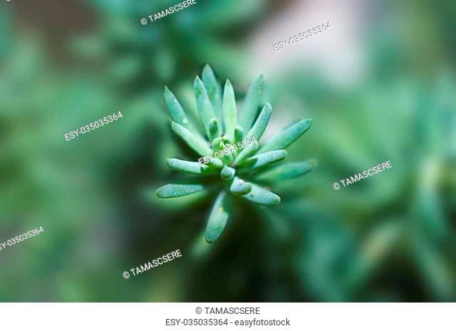Crassula tetragona succulents with little depth on field