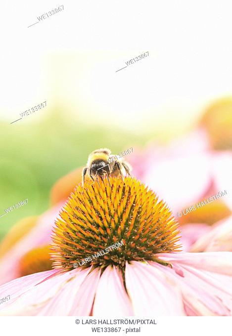 Macro shot of bee pollinating flower
