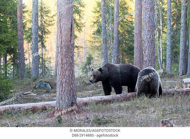 Europe, Finland, Kuhmo area, Kajaani, Brown bear (Ursus arctos horribilis), adult female and male, pair