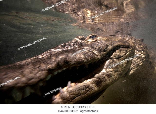 Morelets Crocodile hunting at Night, Crocodylus moreletii, Cancun, Yucatan, Mexico
