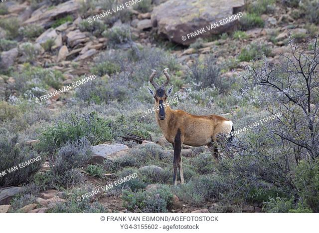 Tsessebe, Karoo National Park, South Africa
