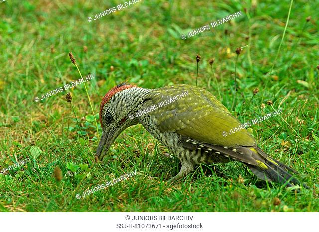 Green Woodpecker (Picus viridis). Juvenile male foraging on a meadow. Germany