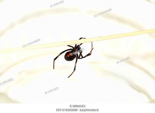 Deadly female black widow spider, Latrodectus mactans, with red hourglass shape underneath her abdomen