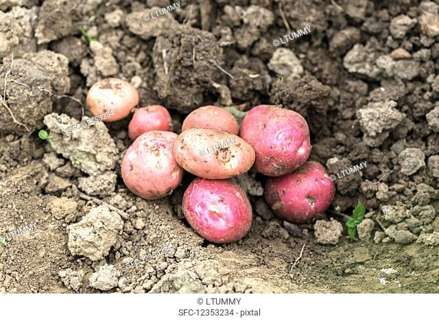 Young red potatoes on the ground