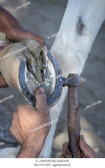 Marwari Horse. Farrier nailing the shoe. India
