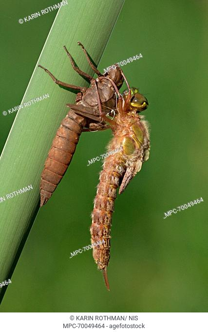 Hairy Dragonfly (Brachytron pratense) metamorphosing, Overijssel, Netherlands. Sequence 10 of 13