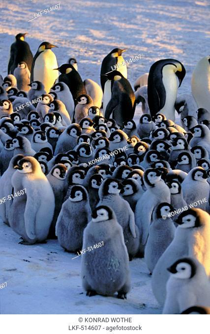 Emperor Penguin with chick, kindergarden, Aptenodytes forsteri, Antarctica