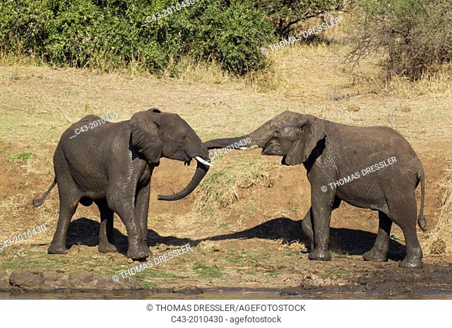 African Elephant (Loxodonta africana) - Two bulls at the bank of the Shingwedzi River about to start a quarrel. Kruger National Park, South Africa