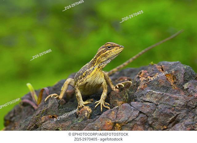 The fan-throated lizard, Sitana ponticeriana- pregnant female, Kaas, Maharashtra, India