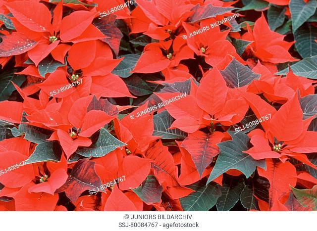 DEU, 2003: Poinsettia (Euphorbia pulcherrima), variety: Jesper Red